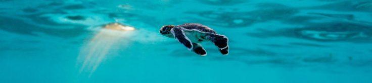 cropped-baby-turtle-heron-island-australia.jpg